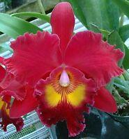 Rare orchid hybrid (near bloom) - Brassolaeliocattleya Sanyang Ruby
