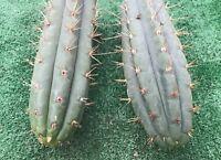 "Echinopsis Trichocereus PERUVIANA Torch cactus 2X12"" HEALTHY TIP CUTTING"