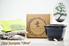 """Olea Europea """"Olive"""" Bonsai Seed Kit Gift Complete Kit to Grow Gift Holiday Deco"""