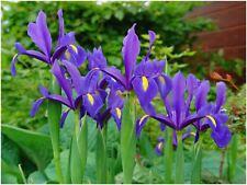 40 Bulbi Iris Magic Colore Blu  Sbocciayura Primavera-Estate Nuovi