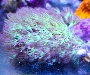 Green Star Polyp GSP soft coral frag beginner  live LPS SPS Marine Frags corals