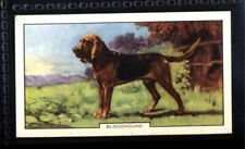 Gallaher Dogs 2nd Series 1938 - Bloodhound No. 5