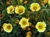 tidy tips, DROUGHT TOLERANT, yellow flower, 65 SEEDS! GroCo