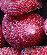 Very Rare Strawberry Top Shells 5 pcs