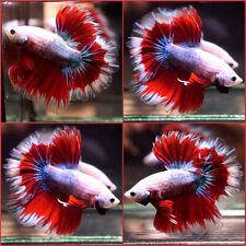 New listing Live Betta Fish Dragon Deep Sky Blue Super Red Rosetail Hm Male #C76