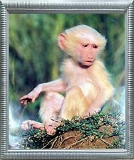 Albino Olive Baboon Baby Monkey Wildlife Animal Wall Decor Silver Framed Picture