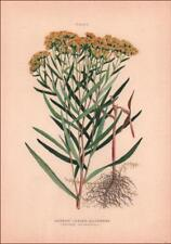 NARROW LEAVED GOLDENROD, Botanical, antique chromolithograph original 1906