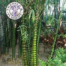 Bamboo bambusa ventricosa RARE perennial 10 seeds  UK SELLER