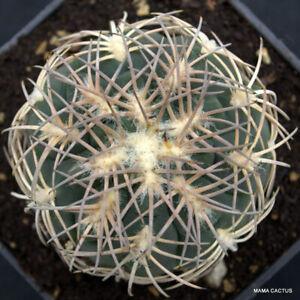 GYMNOCALYCIUM SPEGAZZINI PUNILLENSE pot 9 cm H 4,5 cm W 6,5 cm MaMa Cactus