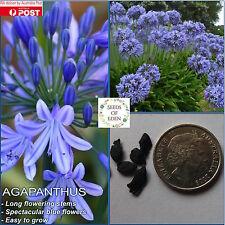 10 AGAPANTHUS 'BLUE AUSTRALIAN' SEEDS(Agapanthus praecox orientalis)