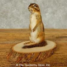 #16332 E | Chipmunk Life-Size Taxidermy Mount For Sale