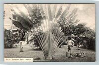 Man Standing Beside Traveller's Palm, Vintage Jamaica Postcard