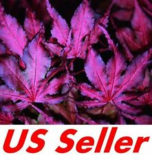 "20 PCS Japanese Purple Maple Seeds T7,  ""Purple Ghost"" Trees Air Purifier"