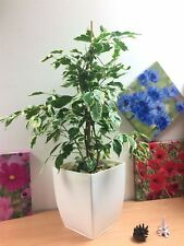 1 Evergreen Ficus Golden King Weeping Fig House Plant in Gloss White Milano Pot