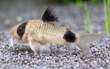 Live Aquarium Catfish for sale | eBay