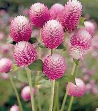 Gomphrena Bicolor Rose Annual Seeds