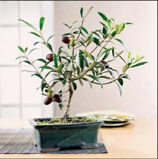 Olive Bonsai Tree Olea Europaea Plants Exotic Fresh Mini Garden New 10 Pcs Seeds