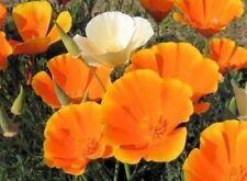 Kalifornischer Goldmohn - Mohn - Eschscholzia californica - 500 Samen