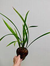 Cymbidium Species ´Green Black Stars´ blühstark Japan Orchidee Orchideen