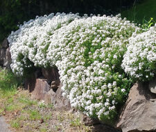 Candytuft White Perennial Evergreen Iberis Sempervirens - 500 Bulk Seeds