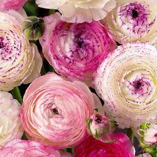 5 X Mix Ranunculus Flower Bulbs Colorful Seeds Perennials Spring Bloom Plant