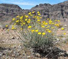 500 Yellow DESERT MARIGOLD Baileya Multiradiata Showy Drought Daisy Flower Seeds