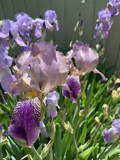 12 Bulbs Tall Bearded Iris Mix-Beautiful Rhizomes-Fragrant