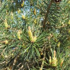1 x Scots Pine Tree Sapling Seedling 20-40cm (Pinus sylvestris)