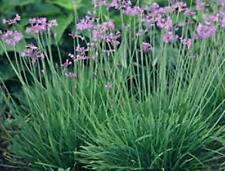 SOCIETY GARLIC Talbaghia violacea purple flowers border edible plant 100mm pot