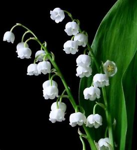 LILY OF THE  VALLEY FLOWER PLANT LIVE PIPS SET OF 6 PLUS 3 EXTRA