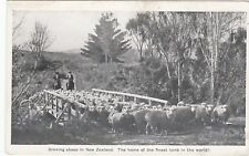 DROVING SHEEP IN NEW ZEALAND POSTCARD