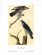 Gos Hawk Vintage Bird Print by John James Audubon ABONA#31
