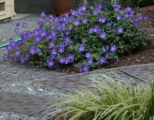 GERANIUM 'ROZANNE' - STARTER PLANT - DORMANT