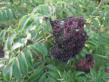 Wyldewood Elderberry Bush - Fruit Shrub - 1 Plant in 2 Gallon Pot