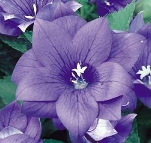 40+ BLUE PLATYCODON DOUBLE BALLOON FLOWER SEEDS / PERENNIAL