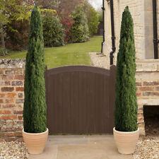 Pair of Italian Cypress Trees 1.4M Tall Ornamental Evergreen Shrubs