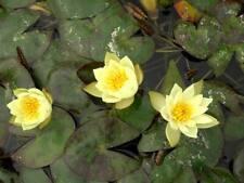PYGMAEA HELVOLA ( DWARF MINATURE  YELLOW UK HARDY WATER LILY )