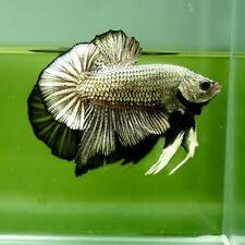 Live Betta Fish Giant Copper Black Rim HMPK Premium Grade Thailand