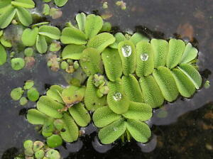 1 - 25 / Oxygenating Pond Water Plants - Salvia Natan - Floating Pond Plants  -