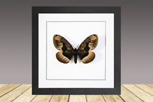 The Siberian owl moth, Brahmaea tancrei, framed moth, real insect, real moth.
