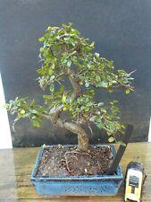 bonsai  zelkova nire   h 35 cm visita il negozio