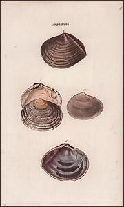 SEA SHELLS, AMPHIDESMA, hand colored engraving, Sowerby, original 1841