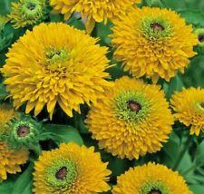 """RUDBECKIA HIRTA """"MAYA"""", CONEFLOWER 30 seeds"""