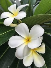 New White Plumeria Cutting Frangipani Tropical Plant Fresh 12 inch