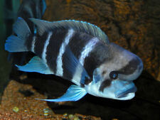 New listing You Can Breed Frontosa's The Way Professional Fish Farms Do (Read Item Desc)