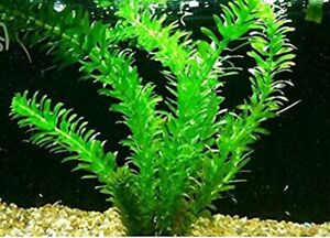 10 x Oxygenating Weed Live Pond Plant ELODEA DENSA - Also Aquarium Aquatic Plant