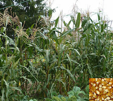 Lot de 50 graines de maïs doux (BIO)