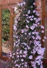 Clematis Montana Perfumed Seeds -Heavy Blooming Vine,Marshmallows Scent