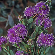 Melaleuca nesophila Showy Honey myrtle native plant in 50mm pot