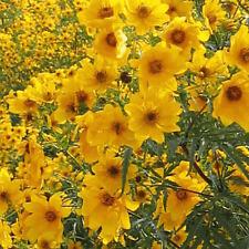 600 Swamp Marigold Wildflower Seeds - Everwilde Farms Mylar Seed Packet